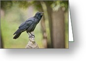 Black Bird Greeting Cards - Brother Crow on St. Francis Head Greeting Card by Bonnie Barry