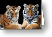 Tiger Cub Greeting Cards - Brothers Greeting Card by Julie L Hoddinott