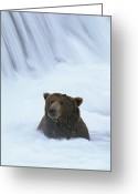 Animal Life Cycles Greeting Cards - Brown Bear Sits In The Froth Greeting Card by Michael Melford