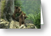 Refuges Greeting Cards - Brown Bear With Cubs, Bayerischer Wald Greeting Card by Norbert Rosing