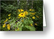 Camelot Greeting Cards - Brown-eyed Susan in the woods Greeting Card by Gary Eason