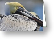 Pelicans Greeting Cards - Brown Pelican Greeting Card by Adam Romanowicz