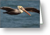 Pelican Photo Greeting Cards - Brown Pelican Flying By Greeting Card by Max Allen