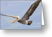 Pelicans Greeting Cards - Brown Pelican Flying Greeting Card by Wingsdomain Art and Photography