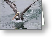 Pelicans Greeting Cards - Brown Pelican Landing On Water . 7D8372 Greeting Card by Wingsdomain Art and Photography