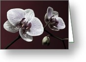 Flower Still Life Prints Greeting Cards - Brown Purple White Orchids Flower Macro - Flower Photograph Greeting Card by Artecco Fine Art Photography - Photograph by Nadja Drieling
