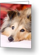 Shetland Sheepdog Greeting Cards - Brown sheltie Greeting Card by Kati Molin