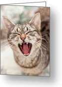 Laziness Greeting Cards - Brown Tabby Cat Yawning And Showing Teeth Greeting Card by Kathryn Froilan
