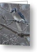 Bluejay Birds Greeting Cards - Brrrrrrrrr Greeting Card by Margaret Augustine