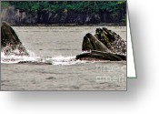 Marine Animals Greeting Cards - Bubble Net Feeding Greeting Card by Robert Bales