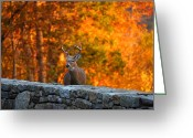 Fur Greeting Cards - Buck in the Fall 01 Greeting Card by Metro DC Photography