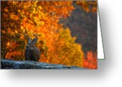 Fur Greeting Cards - Buck in the Fall 03 Greeting Card by Metro DC Photography