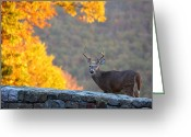 Antlers Greeting Cards - Buck in the Fall 08 Greeting Card by Metro DC Photography