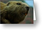 Carpenter Lake Greeting Cards - Bucky Beaver Greeting Card by LeeAnn McLaneGoetz McLaneGoetzStudioLLCcom