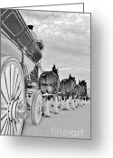 Carriage Team Greeting Cards - Bud Hitch B-W Greeting Card by Lynda Dawson-Youngclaus