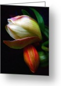 Flower Blossom Greeting Cards - Budding Beauty Greeting Card by Jessica Jenney