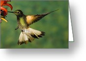 Buff Greeting Cards - Buff-tailed Coronet Boissonneaua Greeting Card by Tom Vezo