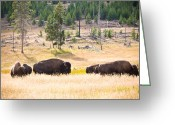 Buffalo Greeting Cards - Buffalo in Golden Grass Greeting Card by Cindy Singleton