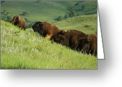 Buffalo Mixed Media Greeting Cards - Buffalo on Hillside Greeting Card by Ernie Echols