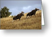 Moose Bull Greeting Cards - Bull cow and moose calf in the Cypress Hills Park Greeting Card by Mark Duffy