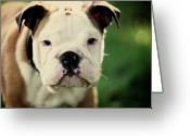 Camera Greeting Cards - Bull Dog Greeting Card by Muoo Photography