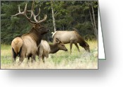 Harem Greeting Cards - Bull Elk With His Harem Greeting Card by Bob Christopher