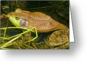 Colorado Creatures Greeting Cards - Bull Frog And Mosquito Greeting Card by Crystal Garner