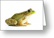 Amphibian Greeting Cards - Bull Frog Greeting Card by Richard Upshur