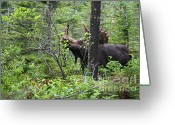 Lonesome Greeting Cards - Bull Moose  - White Mountains New Hampshire  Greeting Card by Erin Paul Donovan