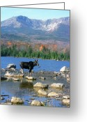 Baxter Park Greeting Cards - Bull Moose below Mount Katahdin Greeting Card by John Burk