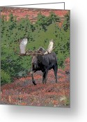 Moose Bull Greeting Cards - Bull Moose in Autumn- Abstract Greeting Card by Tim Grams