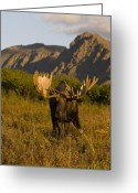 Moose Bull Greeting Cards - Bull Moose in Evening Light Greeting Card by Tim Grams