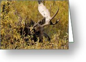 Moose Bull Greeting Cards - Bull Moose in Hiding Greeting Card by Larry Ricker