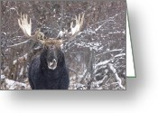 Moose Bull Greeting Cards - Bull Moose in Winter Greeting Card by Mark Duffy