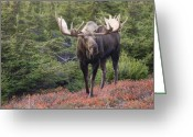 Rut Greeting Cards - Bull Moose on a Red Carpet Greeting Card by Tim Grams