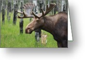 Raining Photo Greeting Cards - Bull Moose Portrait Greeting Card by Cathy  Beharriell