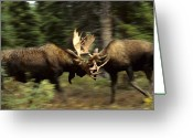 Moose Bull Greeting Cards - Bull Moose Sparring Greeting Card by Michael S. Quinton