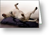 Terrier Greeting Cards - Bull Terrier Dreams Greeting Card by Michael Tompsett