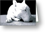 Dog Greeting Cards - Bull Terrier White on Black Greeting Card by Michael Tompsett