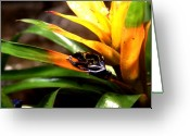 Amazon Greeting Cards - Bumble Bee Dart Frogs Greeting Card by J Vincent Scarpace