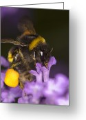 Food Source Greeting Cards - Bumble Bee Feeding Greeting Card by Power And Syred