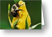 Cultivars Greeting Cards - Bumble bee on rose  Greeting Card by Michael Peychich