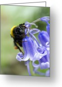 Endymion Greeting Cards - Bumblebee Resting On A Bluebell Greeting Card by Dr Jeremy Burgess
