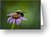 Echinacea Greeting Cards - Bumblebee Greeting Card by Teresa Mucha