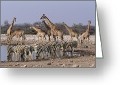Waterhole Greeting Cards - Burchells Zebra Equus Burchellii Greeting Card by Michael & Patricia Fogden