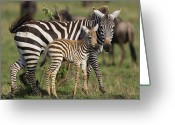 Maasai Mara Greeting Cards - Burchells Zebra Equus Burchellii Mother Greeting Card by Suzi Eszterhas