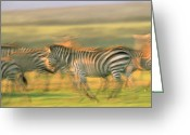 African Animals Greeting Cards - Burchells Zebra Group Running Kenya Greeting Card by Tim Fitzharris