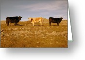 Kinvarra Greeting Cards - Burren Cattle Greeting Card by John Quinn