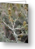 Burro Greeting Cards - Burro Bush (ambrosia Dumosa) Greeting Card by Bob Gibbons