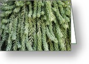 Burro Greeting Cards - Burros Tail Foliage Greeting Card by Photostock-israel